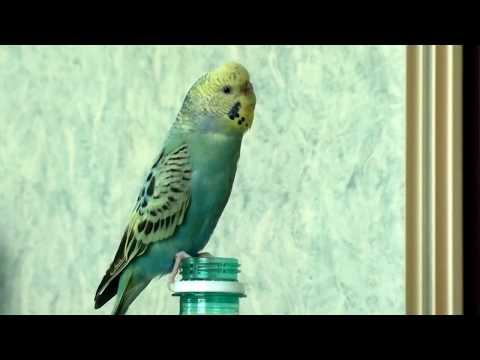 Самка волнистого попугая поёт