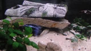 Йохани (Melanochromis johanni)(, 2016-05-22T10:45:32.000Z)