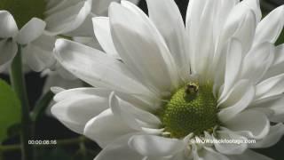 Macro close up of lady bird crawling. New Zealand - (Studio)
