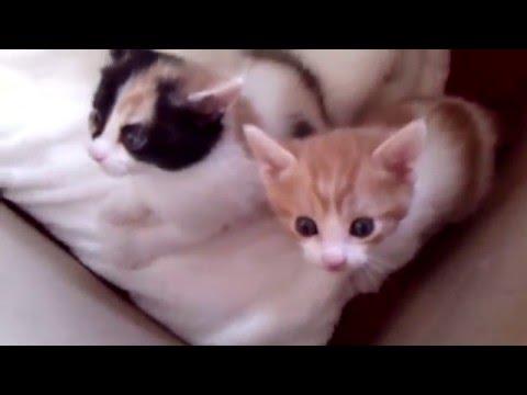 Klassy Litter of 03/28/16 - Japanese Bobtail Kittens at 3 Weeks of Age