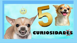 5 CURIOSIDADES que no sabias de los Perros CHIHUAHUA  | QueTuany
