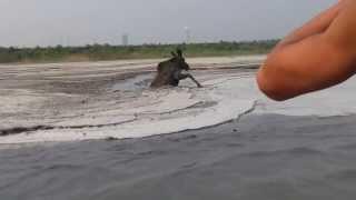 Спасение лосёнка на золоотвале Кемеровской ГРЭС