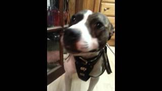 Talking Staffordshire Bull Terrier Dog