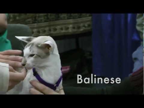 meet 3 asian cat breeds: oriental, burmese and balinese cats at javits center cat show, music, HD