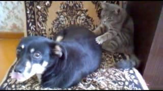 кот делает массаж собаке