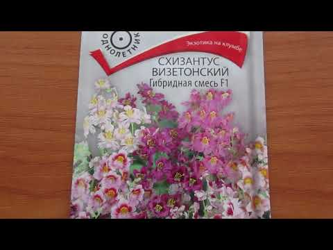 Схизантус или садовая орхидея.
