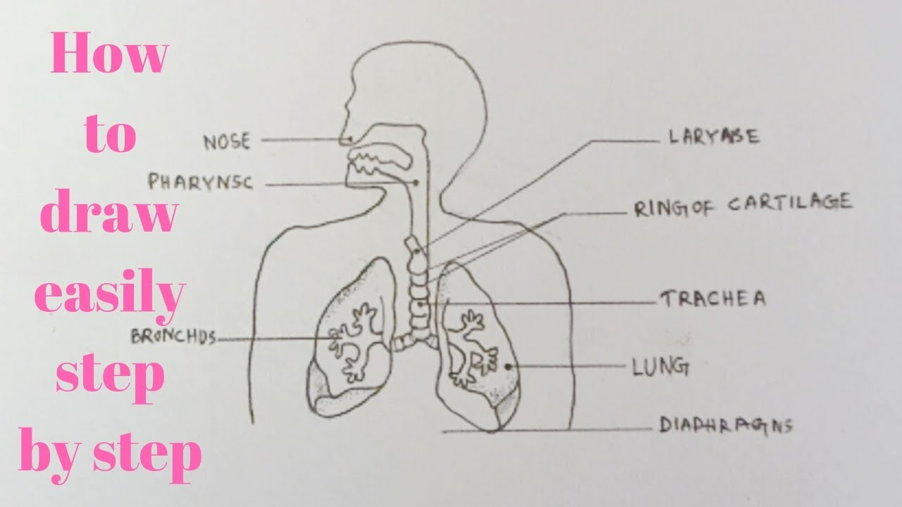 How To Draw Diagram Of Human Respiratory System Easily Step By Step