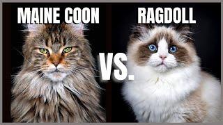 Maine Coon Cat VS. Ragdoll Cat