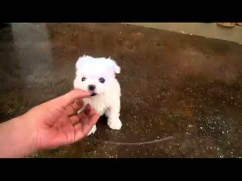 Image Result For How Much Are Maltese Puppies For Sale