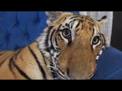 Mini bengal tiger cat