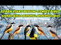 Suara Pikat Burung Cendet Ribut Terbaru  Mp3 - Mp4 Download