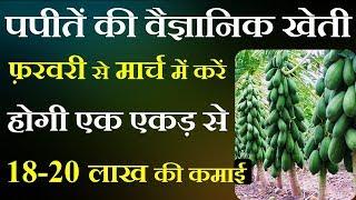 पपीतें की वैज्ञानिक खेती फ़रवरी से मार्च में करें होगी एक एकड़ से 18-20 लाख की कमाई | papaya farming