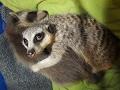 Raccoon baby with meerkat