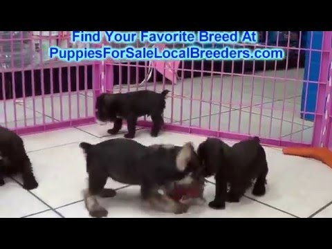Miniature Schnauzer, Puppies For Sale, In Winston-Salem, County, North Carolina, NC, 19Breeders