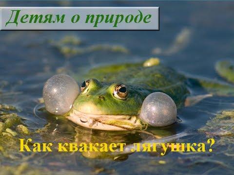 Как квакает лягушка видео ☁ Лягушка в воде квакает