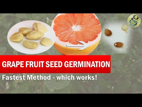 Grapefruit Seed Germination Fast Method | How to grow grape-fruit from seed - Time lapse with result