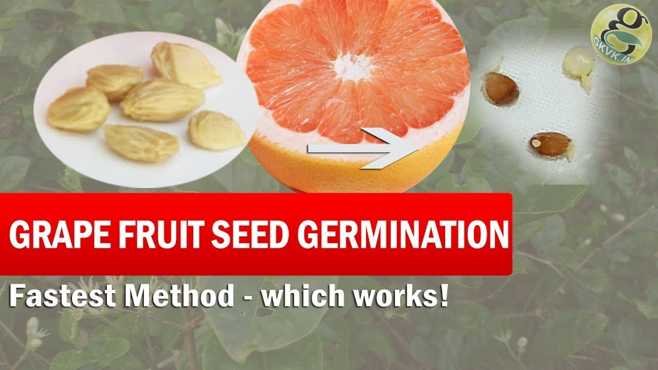 Grapefruit Seed Germination Fast Method How To Grow Grape Fruit From Time Lapse With Result