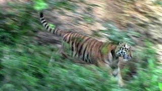 バックヤードへ帰って行くアムールトラの子供「ショウヘイ」(多摩動物公園)Baby Siberian Tiger