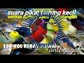 Suara Pikat Burung Semua Jenis Burcil Vol Keras Dan Jernih  Mp3 - Mp4 Download