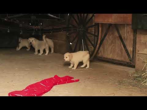 Golden Retriever Mix Puppies For Sale