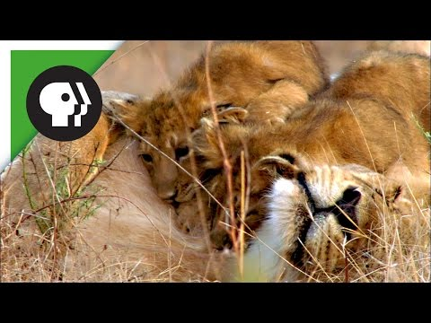 Thumbnail: Lion Cubs Playing with Mom and Dad