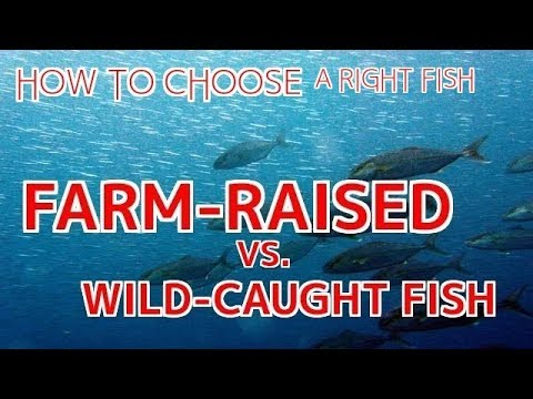 How To Choose A Right Fish: Farm-Raised Or Wild Fish【Sushi Chef Eye View】
