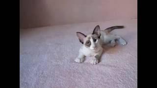 Говорящий котёнок