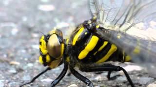 Tiger Libelle mit goldenen Augen