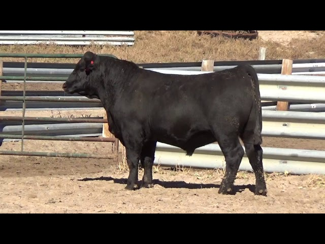 Connealy Angus Lot 41