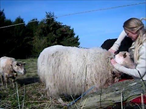 Shearing Clara with scissors