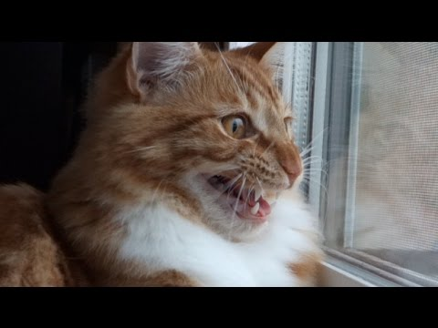 Maine Coon Cat INSANE Chattering & Chirping!!