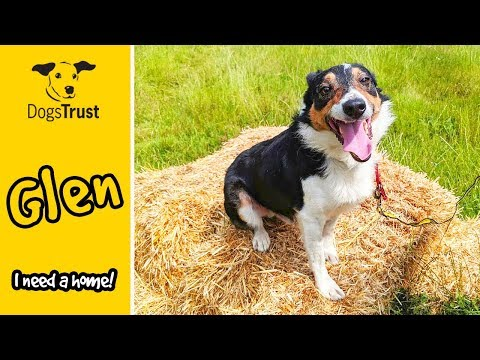 Glen The Border Collie Cross Loves A Fuss From Friends! | Dogs Trust Newbury