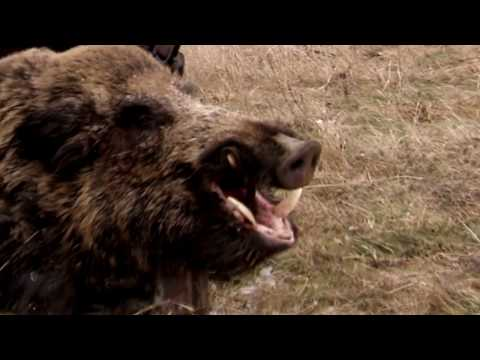 Driven wild boar hunting | Epic wild boar hunt in Romania - Ultimate Hunting