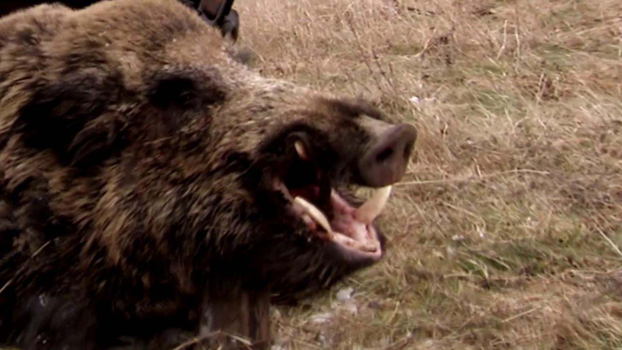 Driven wild boar hunting   Epic wild boar hunt in Romania - Ultimate Hunting