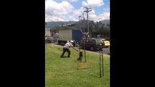 Perro de raza criolla adiestrado en cruce de semáforo