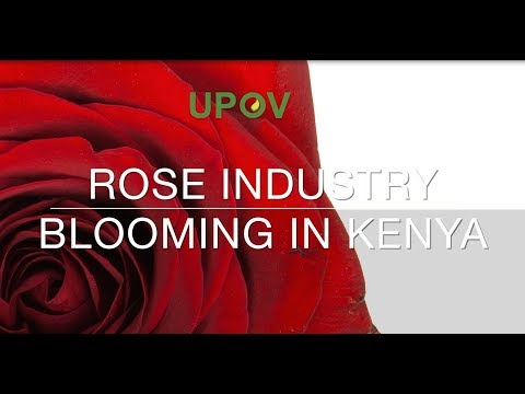 (Kenya) Rose Industry Blooming Kenya