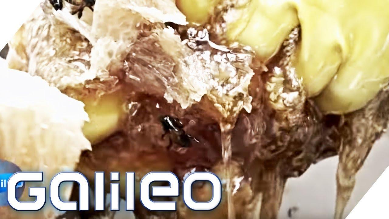 In 40 Metern Höhe: Kann unser Reporter Sialang Honig ernten? | Galileo | ProSieben