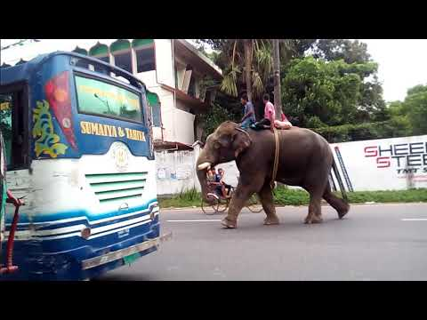 Elephant hijacking money at hathazari road,natun para,chittagong.
