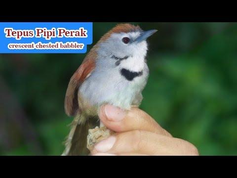Suara Asli Burung Tepus Pipi Perak / Crescent Chested Babbler Mp3