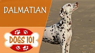 Dogs 101  DALMATIAN  Top Dog Facts About the DALMATIAN