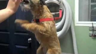 Hazel - Border Terrier