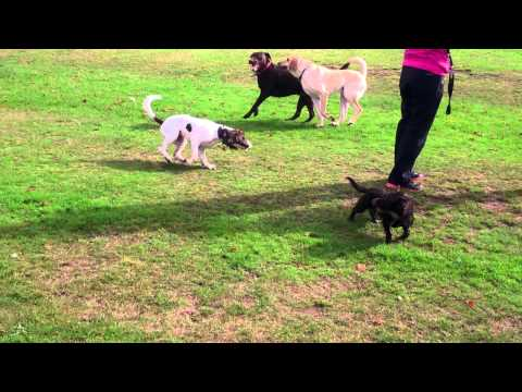 Molly, Bobby, Bailey and golden lab playing