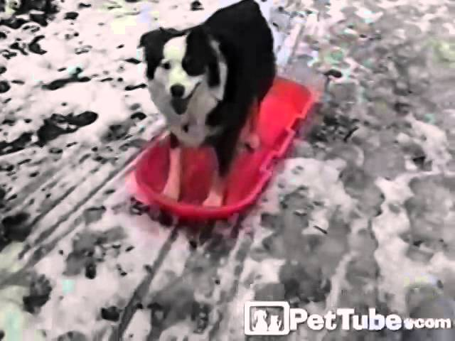 Dog's First Chance to Ride the Sled- PetTube