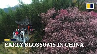 Early spring blossoms appear in southern China