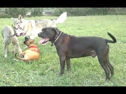 American Staffordshire playing with Czech Wolf