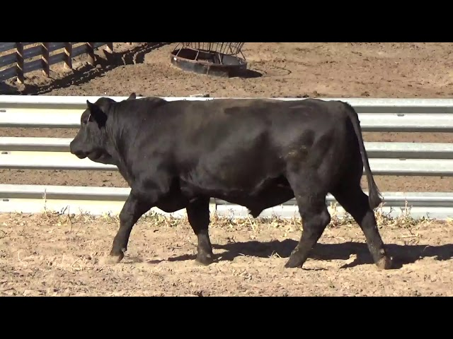 Connealy Angus Lot 106