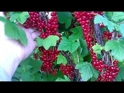 Красная смородина  Сахарная  2017 07 03