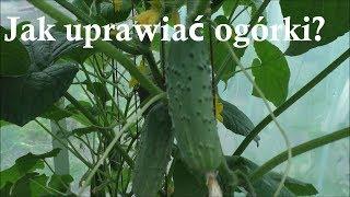 Jak uprawiać ogórki szklarniowe gruntowe praktyczne porady -odmiany