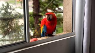 Arara vermelha aparece no Pilarzinho e alegra moradores de condomínio