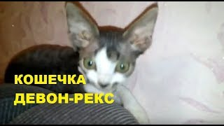 ✅ Кошечка Леся порода девон-рекс